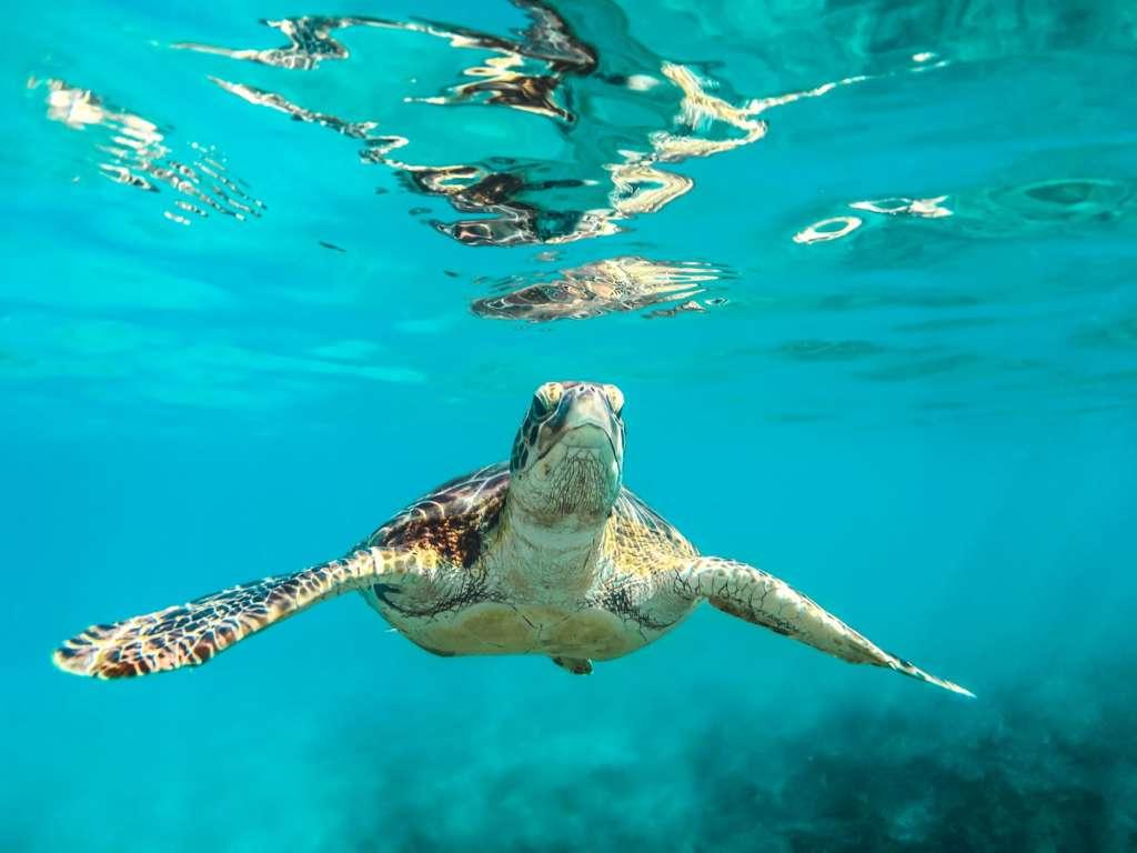reasons-to-visit-barbados-sea-turtles