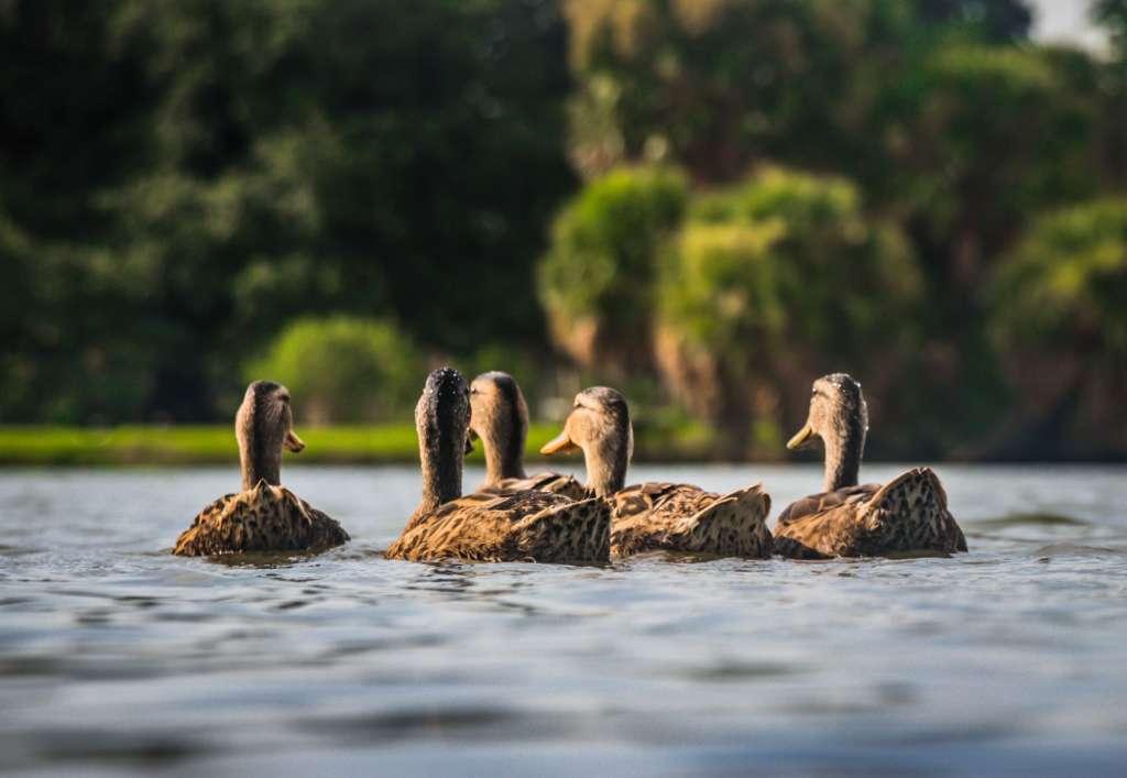 reasons-to-visit-orlando-ducks