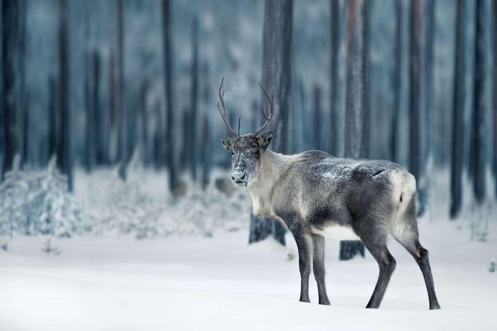 reasons-to-visit-finland-reindeer